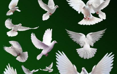 Chia sẻ file psd tài nguyên động vật chim bồ câu trắng