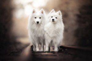 hình ảnh và hình nền chú chó Spitz Nhật ngộ nghĩnh