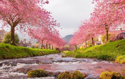 Share top 50 hình nền và ảnh hoa anh đào – Sakura cực chất