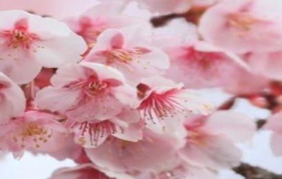 Share 50 hình nền hoa đào đẹp cho điện thoại Xiaomi Redmi Note 10 Pro
