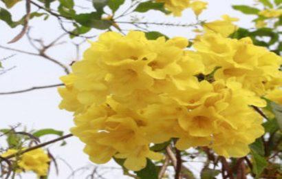 Tuyển chọn 30 hình nền hoa chuông vàng cho máy tính, laptop