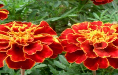 Share 50 hình nền hoa cúc vạn thọ rực rỡ cho máy tính