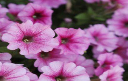 Tuyển tập hình nền hoa dạ yến thảo đẹp mê mẩn cho máy tính
