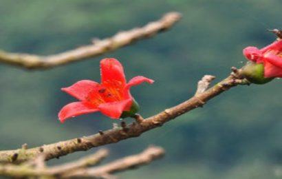 Tuyển tập hình nền hoa gạo tháng 3 đỏ rực rỡ cho máy tính