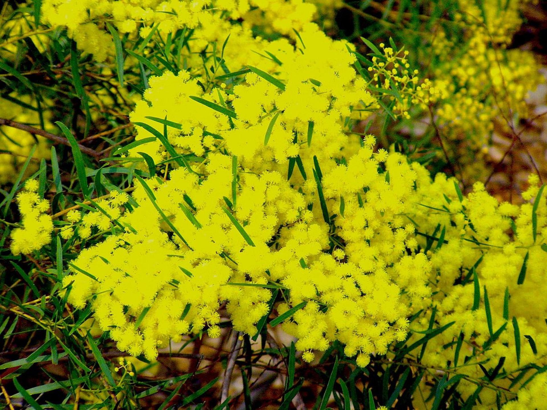 Hình nền hoa keo acacia cho máy tính số 28