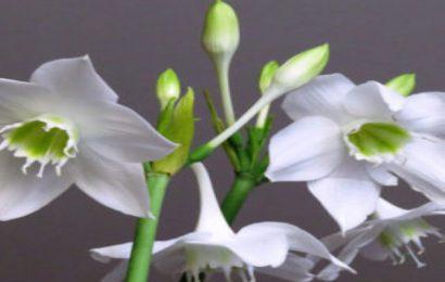 Top 30 hình nền hoa anh thảo – hoa ngọc trâm đẹp cho máy tính