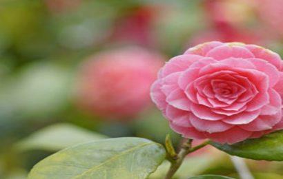 Top 50 hình nền hoa trà my đẹp mê mẩn cho máy tính