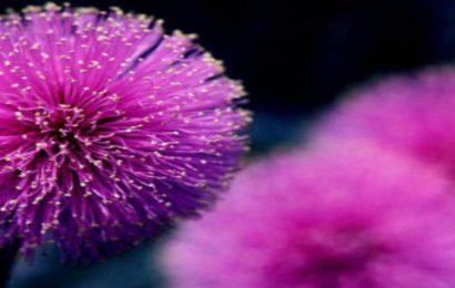 Top hình nền hoa trinh nữ – Hoa xấu hổ đẹp nhất cho máy tính
