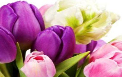 Share 50 hình nền hoa tulip đẹp nhất cho điện thoại OPPO RENO4