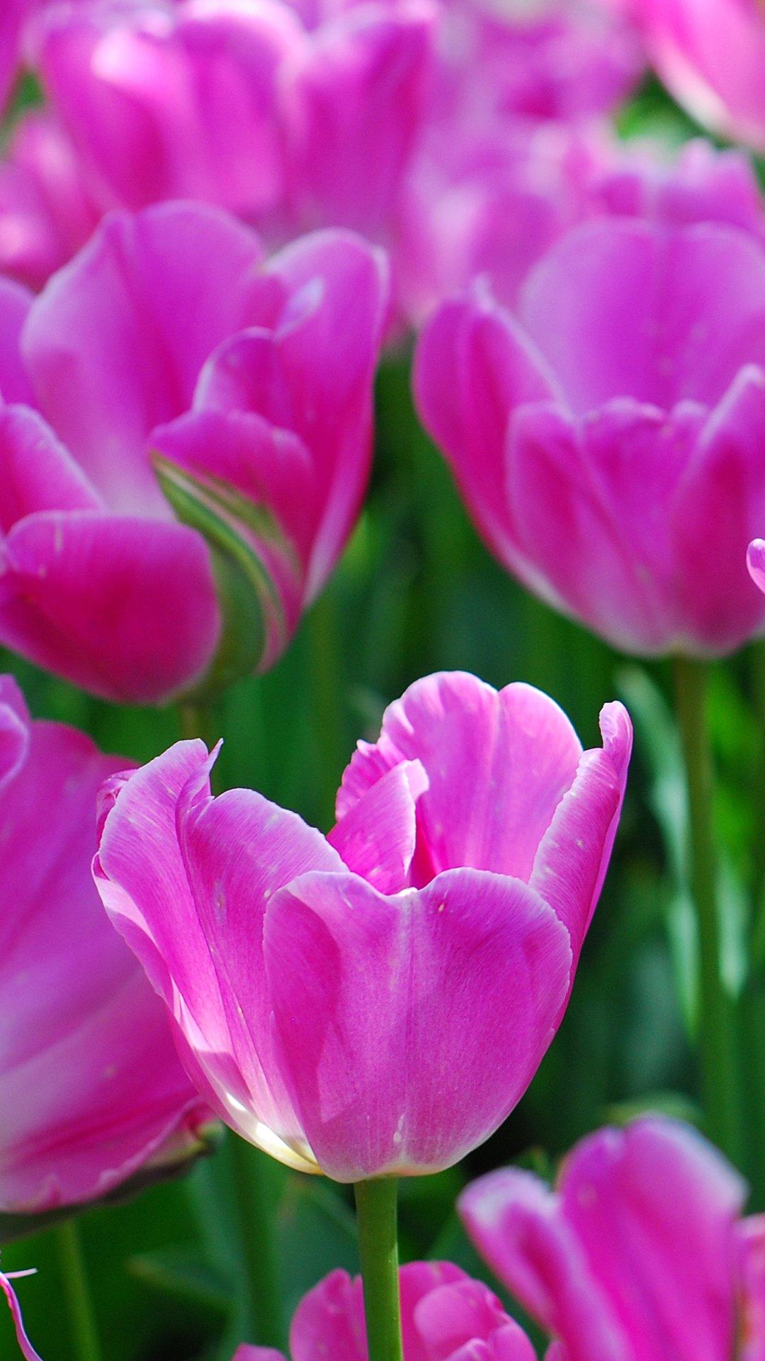 hình nền hoa tulip9