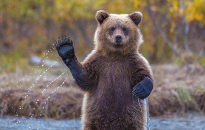 Bộ sưu tập 30 hình nền chú gấu nâu hiền lành cho máy tính, laptop